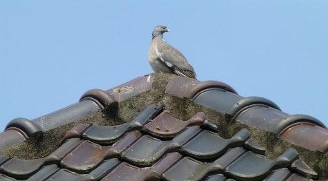 Duif op dak